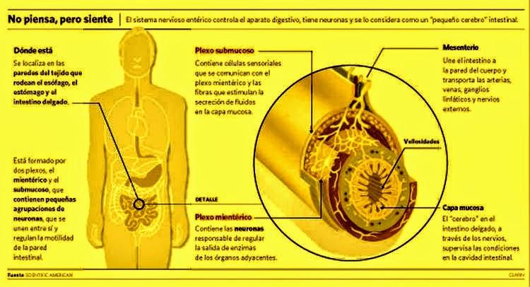 cerebro enterico